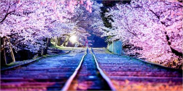 Most Beautiful Japanese Cherry Blossom Photos of 2014